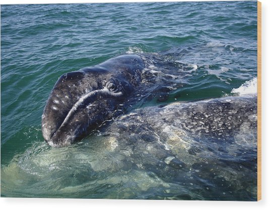 Mother Grey Whale And Baby Calf Wood Print