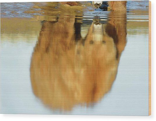 Mother Grizzly Reflection Wood Print