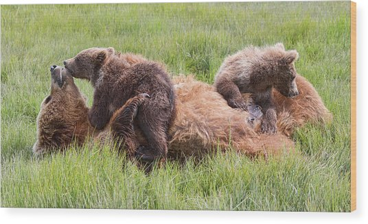 Mother Grizzly Suckling Twin Cubs Wood Print