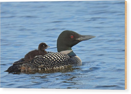 Mother Loon And Her Baby Wood Print