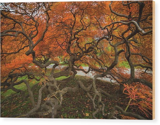 Mount Auburn Cemetery Beautiful Japanese Maple Tree Orange Autumn Colors Branches Wood Print