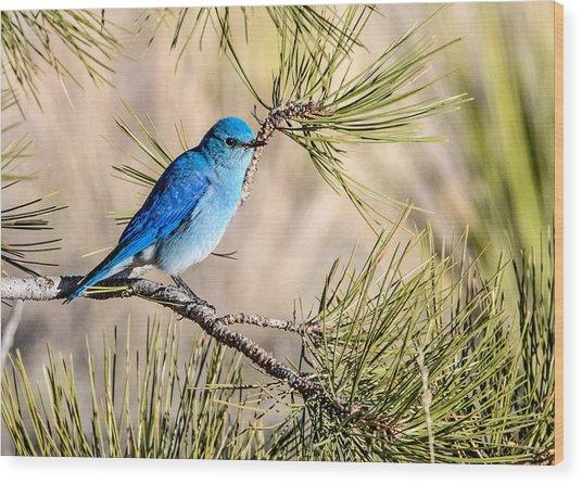 Mountain Bluebird In A Pine Wood Print