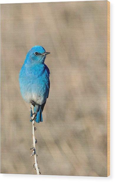 Mountain Bluebird On A Stem. Wood Print