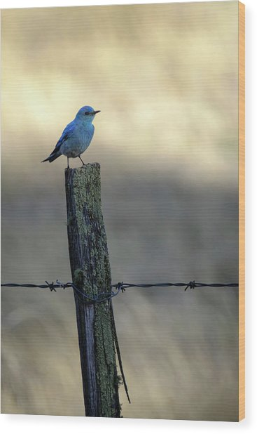 Mountain Bluebird On Wood Fence Post Wood Print