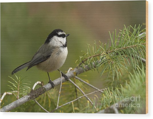 Mountain Chickadee Wood Print