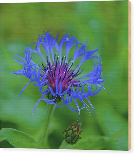 Mountain Cornflower Wood Print
