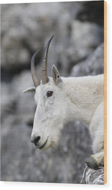Mountain Goat At Rest Wood Print by Michael Bowland