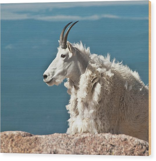 Mountain Goat King Of Mount Evans Wood Print