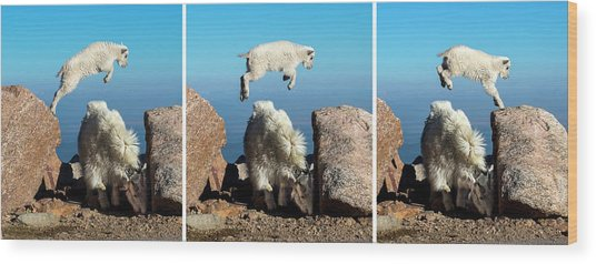 Mountain Goat Leap-frog Triptych Wood Print