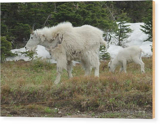 Mountain Goat Mom And Baby Wood Print by D Nigon