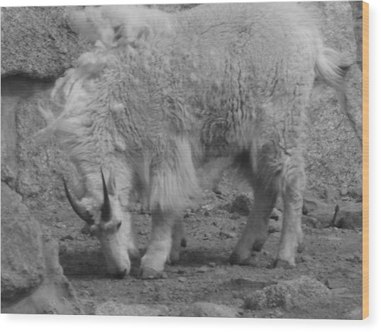 Mountain Goat Wood Print by Peter  McIntosh
