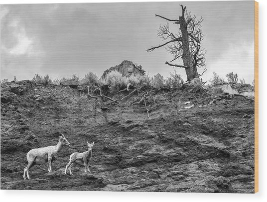 Mountain Goat With A Kid For A Walk Wood Print