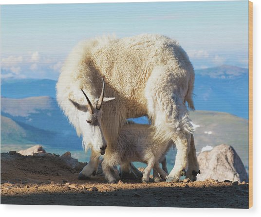 Mountain Goats Nanny And Kid Wood Print