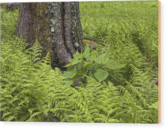 Mountain Green Ferns Wood Print