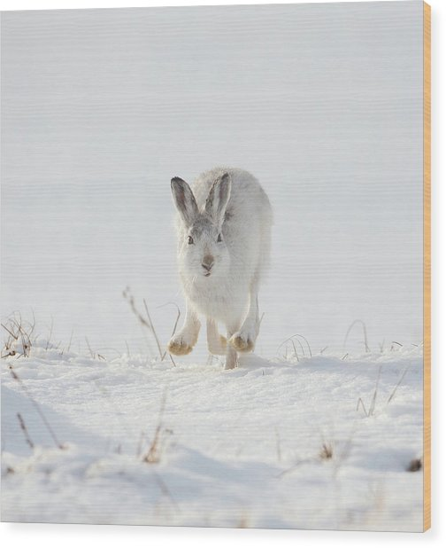Mountain Hare Approaching Wood Print