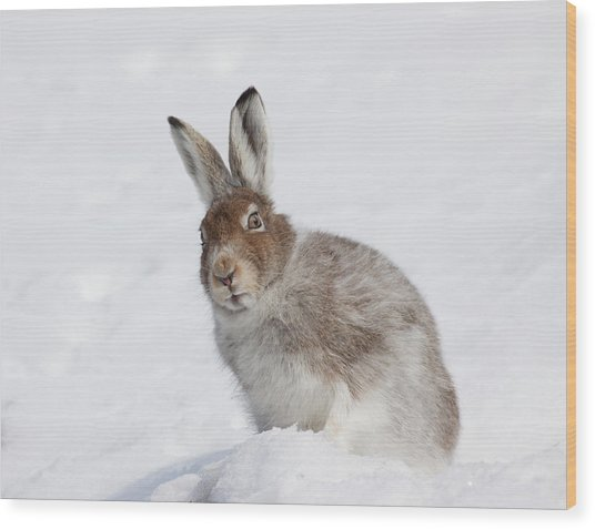 Wood Print featuring the photograph Mountain Hare In Winter by Karen Van Der Zijden