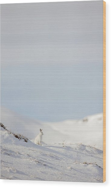 Mountain Hare On Hillside Wood Print