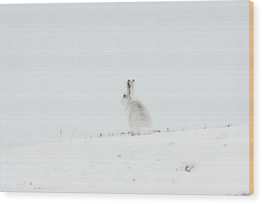 Mountain Hare Sat In Snow Wood Print