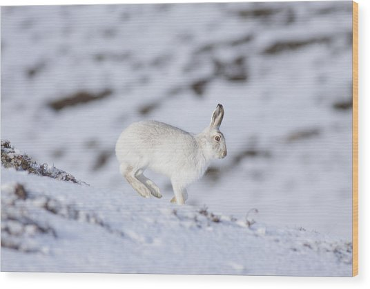 Mountain Hare - Scottish Highlands  #12 Wood Print