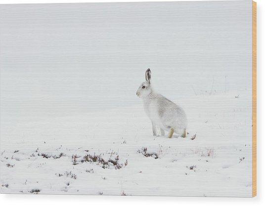 Mountain Hare Side On Wood Print