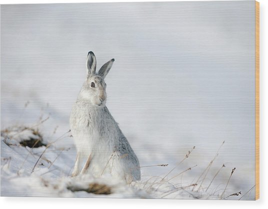 Mountain Hare Sitting In Snow Wood Print