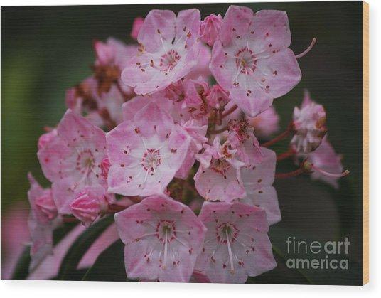 Mountain Laurel Bloom Wood Print
