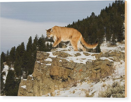 Mountain Lion On Rocks Wood Print