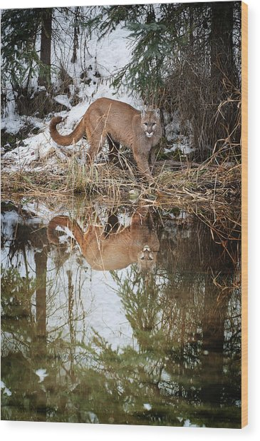 Mountain Lion Reflection Wood Print