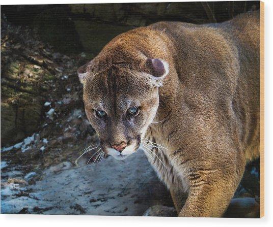Mountain Lion Stare Down Wood Print