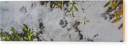 Mountain Lion Tracks In Snow Wood Print