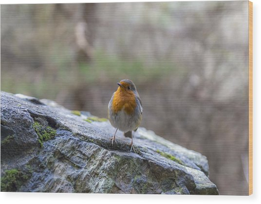 Mountain Robin Wood Print