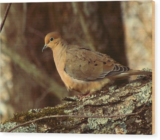 Mourning Dove At Dusk Wood Print