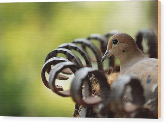 Mourning Dove In A Flower Planter Wood Print