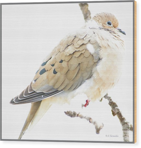 Mourning Dove, Snowy Morning Wood Print