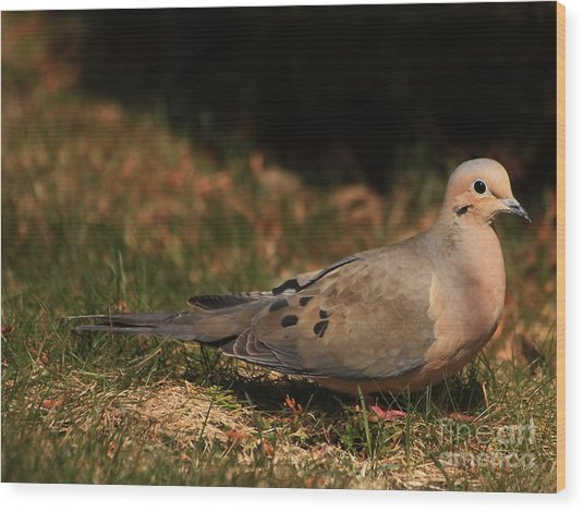 Mourning Dove Spring 2012 Wood Print