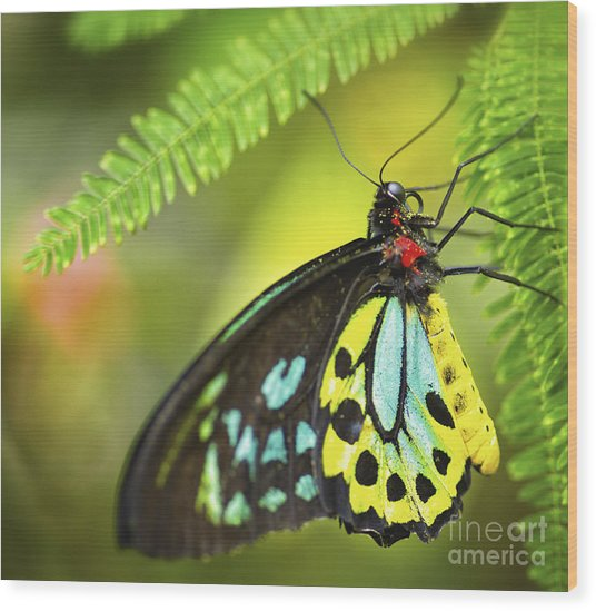 Mr. Richmond Birdwing Wood Print