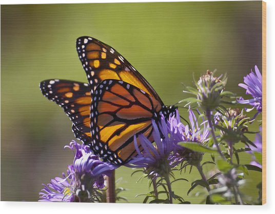 Ms. Monarch Wood Print by Ross Powell