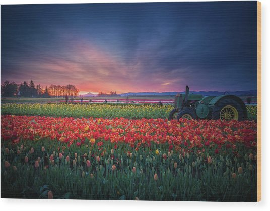 Mt. Hood And Tulip Field At Dawn Wood Print