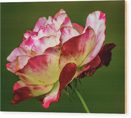 Multi-colored Rose Wood Print