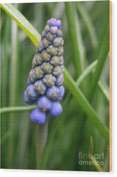 Muscari Drops Wood Print by Michelle Hastings