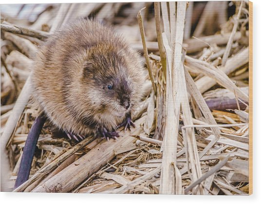 Wood Print featuring the photograph Muskrat Ball by Steven Santamour