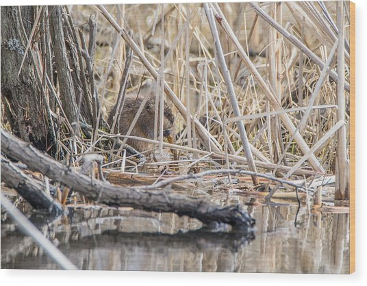 Muskrat Eating A Fish Wood Print