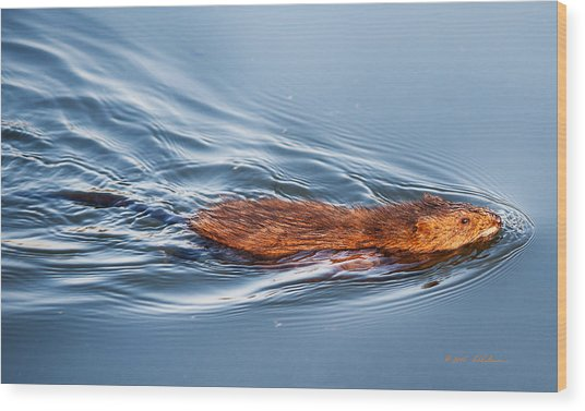 Muskrat Speed Swiming Wood Print
