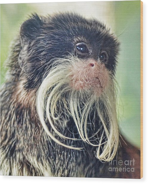 Mustache Monkey Watching His Friends At Play Wood Print