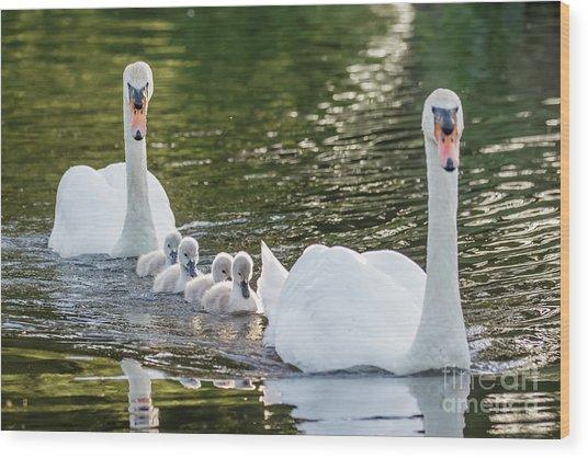 Mute Swan - Cygnus Olor -  Adult And Cute Fluffy Baby Cygnets, Swim Wood Print