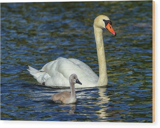 Mute Swan, Cygnus Olor, Mother And Baby Wood Print