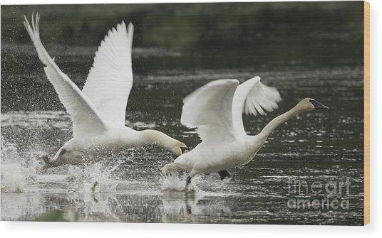 Mute Swan Intimidation Wood Print