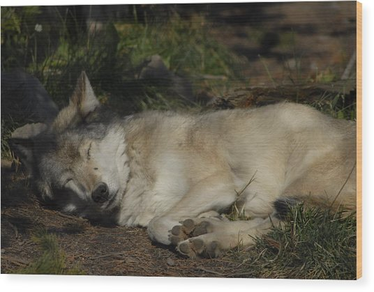 Nap Time Wood Print by Curtis Gibson