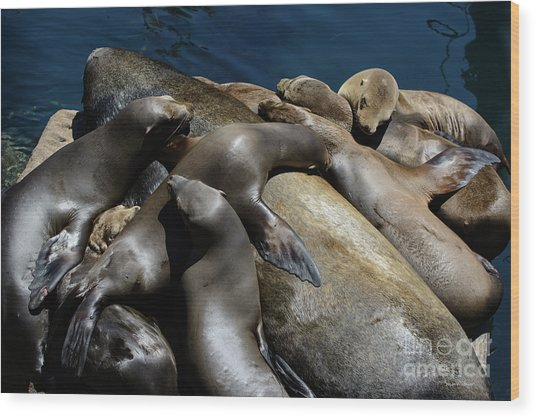 Napping Atop A Massive Sea Lion Wood Print