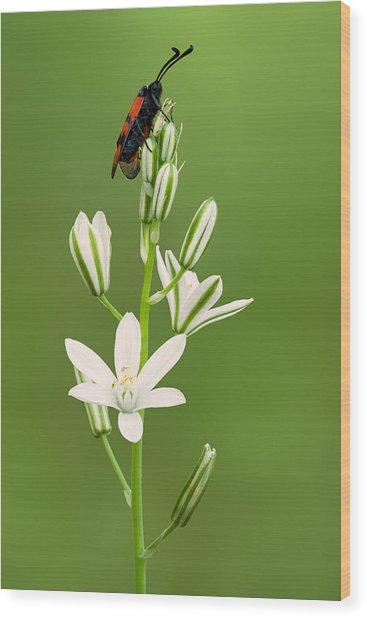 Narbonne Star-of-bethlehem Wood Print by Yuri Peress